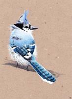 : Blue Jay : by Natasha011