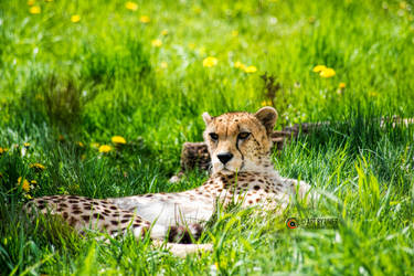 A Cheetah by umerr2000