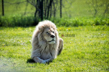 White Lion by umerr2000