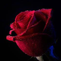 Midnight Rose by Eman333