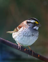 White-Throated Sparrow by tidesend