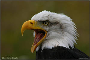 Bald Eagle 2 by CoupeKid