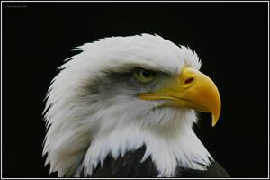 Eagle eyed by CoupeKid