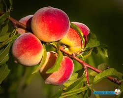 Peach by mohammadshadeed