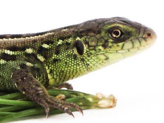 awesome lizzard by call-of-nature