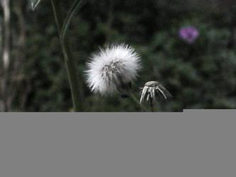 fairy fluff by zenkatydid