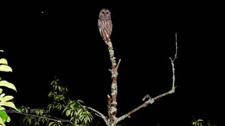 Barred Owl In Neighbor's Tree by Bnuldun
