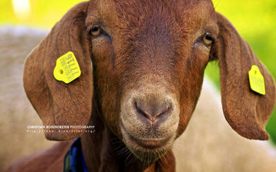Portrait of a Goat by binaryriot