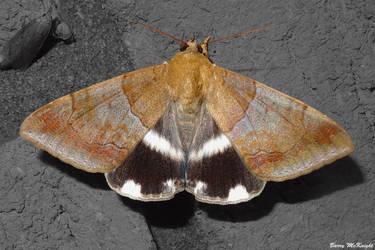 Moth #944 - Achaea janata. by baz35