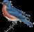 Eastern bluebird Icon