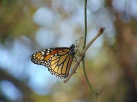 Monarch Butterfly by SapphireTheWolfDemon