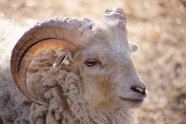 Ram Portrait by dseomn