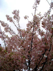 Spring Blossoms 1 by 0liveJuice