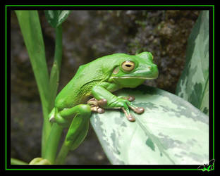 Green Frog by Wild-Soul