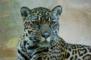 A Jaguar called Ladybird by Wild-Soul