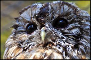 Tawny Owl by Wild-Soul