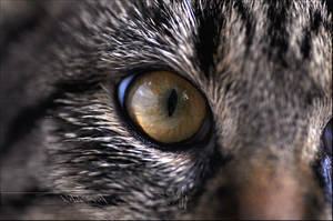Eye of the Tiger-Cat by Wild-Soul
