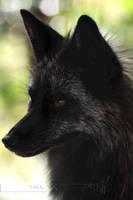 Regal Fox by Wild-Soul