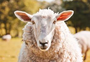 Sheep by Lain-AwakeAtNight