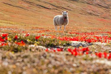 Sheep on Matinden by Lain-AwakeAtNight