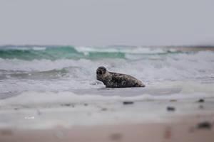 Tiny Seal by Lain-AwakeAtNight