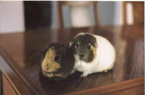 my guinea pigs by teadiddy