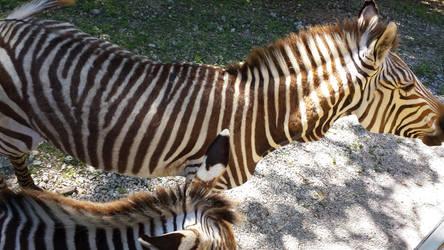 Zebras by chenoasart