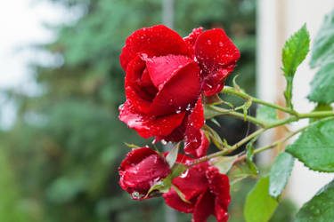 Red roses by sztewe