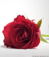 A Single Rose by MrScruffy