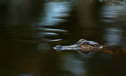 Orton Plantation: Alligator 2 by LAlight