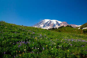 Wildflowers and Rainier by LAlight