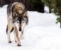 Gray Wolf III by OrangeRoom