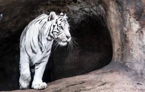 White Tigress IV by OrangeRoom