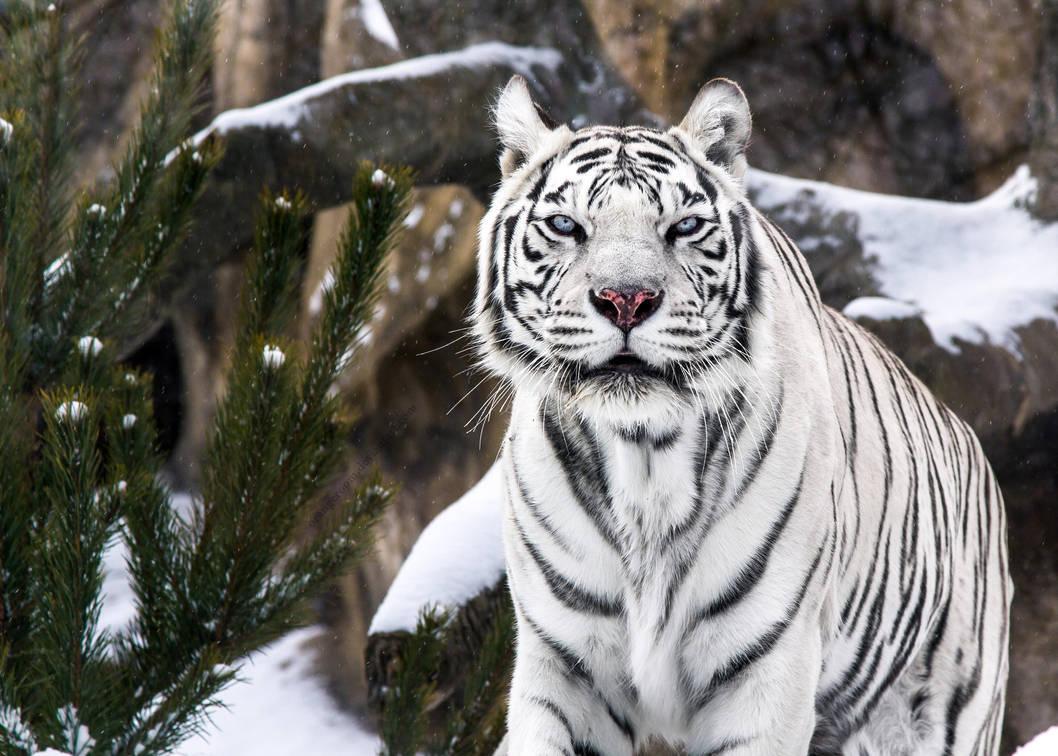 White Tigress V by OrangeRoom