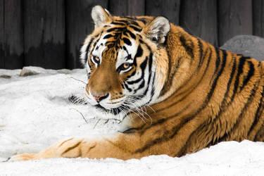 Amur Tigress Portrait I by OrangeRoom