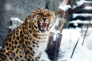 MZ Angry Amur Leopard by OrangeRoom