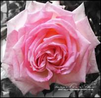 Pink Rose by Ellysiumn-GvE