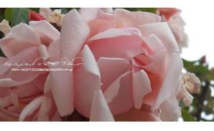 Roses Garden II by Ellysiumn-GvE