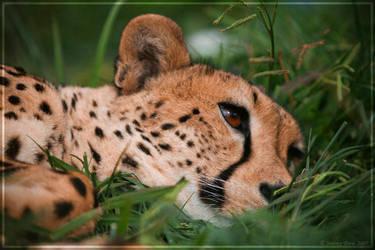 Cheetah Chillaxing by Jer-Trow