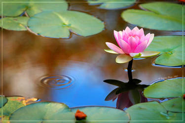 Pink in a Pond by Jer-Trow