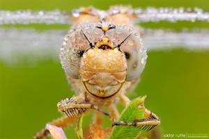 Dragonfly - DK2 by Stefano-Coltelli