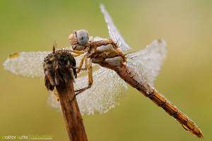 Dragonfly - DK3 by Stefano-Coltelli