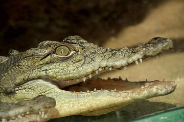crocodile by DevUmt