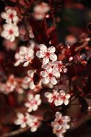 Blossoms at Sunset by AstNav