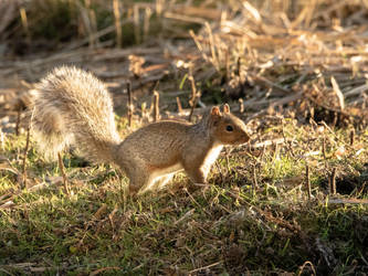 Sunset Squirrel by S4MMY4RT