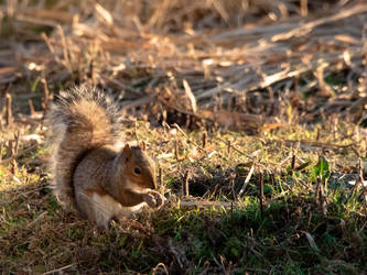 Grey Squirrel by S4MMY4RT