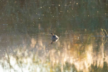One Little Grebe by S4MMY4RT