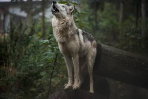 Grey Wolf 62 by fallen-cherubim
