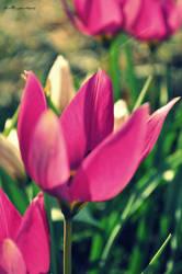 Saturn tulip by MexSayuri