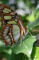 Little Brown Butterfly by jjhale78